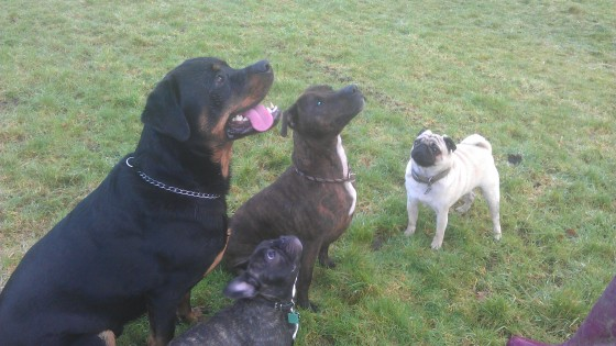 Vegas the rotty, Obi the staffy, Stanley the Pug and mee