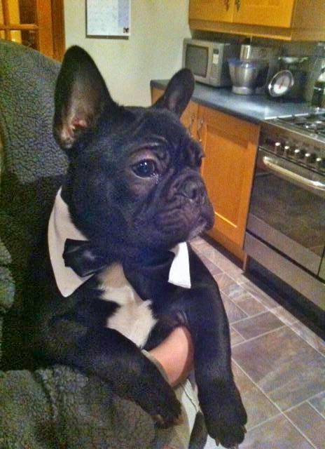Hugo with his Black on White Dickie Bow collar