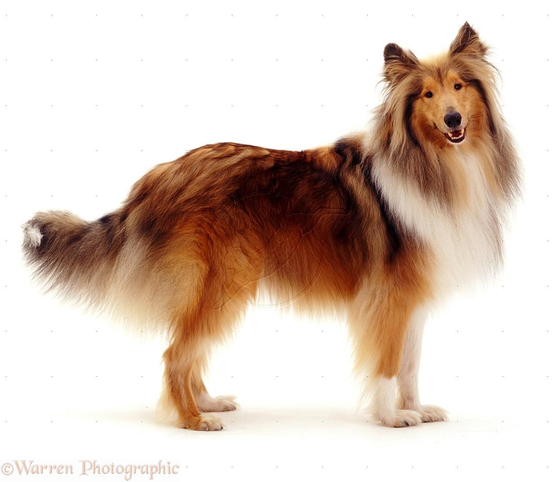 Small Collie Like Dog