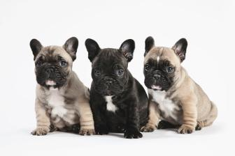 pedigree-french-bulldog-puppies-in-a-row-on-white-andrew-bret-wallis